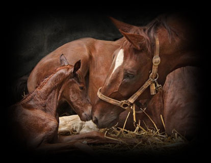 Mare Services - On-Site Breeding Fresh, Cooled, & Frozen Semen, Foal Out Service, Foal Alert System